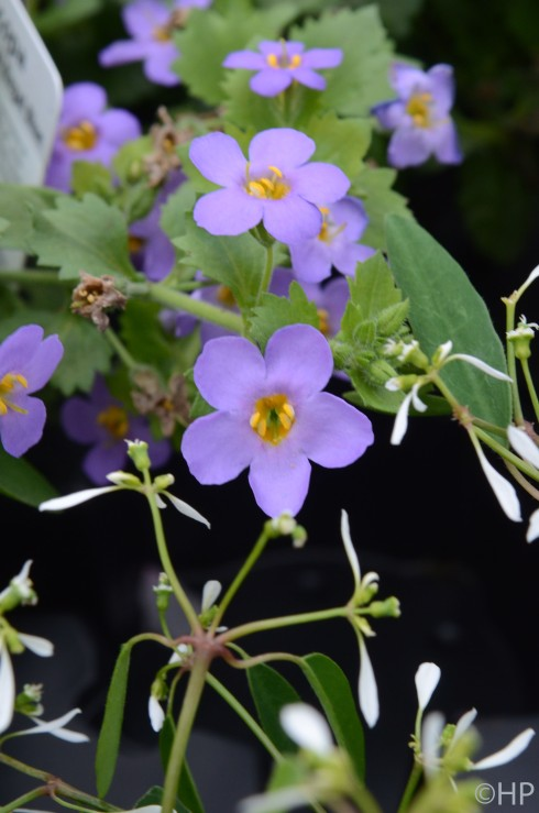 Bacopa Scopia Great Regal Blue